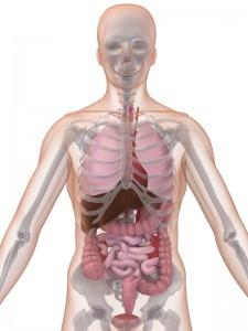 Anatomi Människa